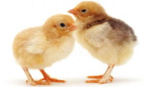 цыплята бройлеры sasso