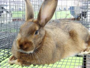 породы кроликов2
