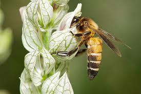 гималайская пчела