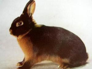 бурый кролик1