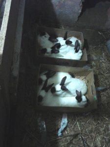 калифорнийские кролики в ямах