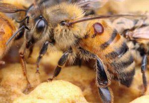 пчёл варроатоз