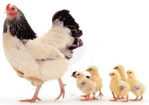 возраст курицы
