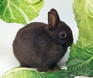 карликовые кролики породы