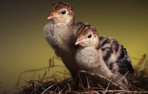 суточные птенцы
