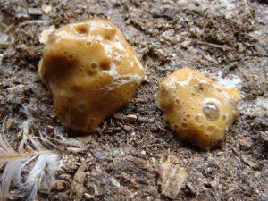 индюшата поносят коричневым