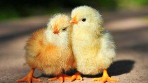 цыпленок признаки недуга