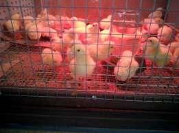 цыплята росс 708 в клетке