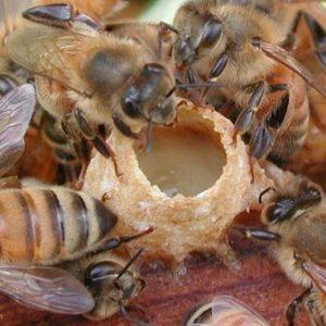 рабочая пчела