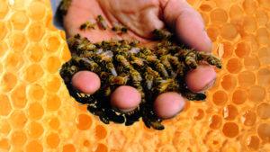 применение подмора пчёл