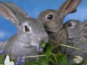 закупка кроликов