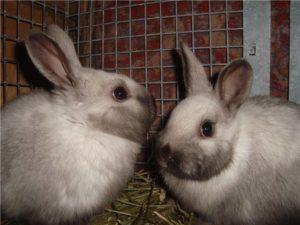 саландер кролик