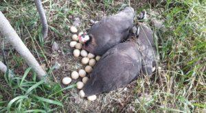 цесарка и яйца