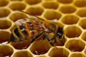 вид пчелы