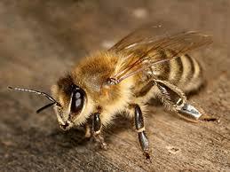 карника пчела