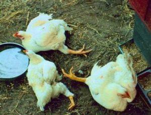 симптомы болезней кур