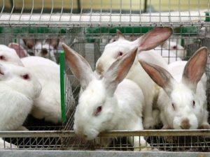 кролики хиплус