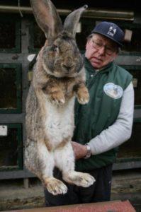 кролики великаны1