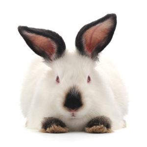 кролик калифорнийский