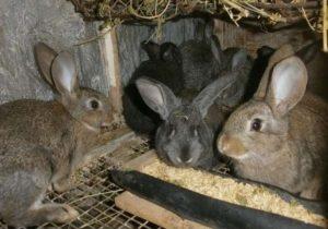 содержание кроликов1