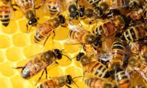 состав подмора пчёл