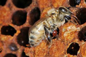 степень заражения пчел