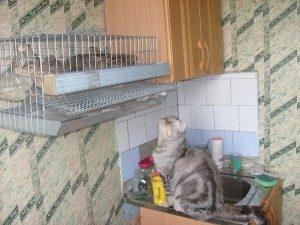 перепела в квартире