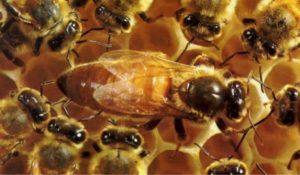 наращивание пчел