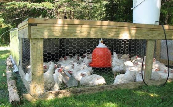 Выращивание цыплят цыплята в домашних условиях