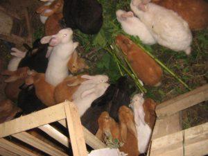 много кроликов в яме