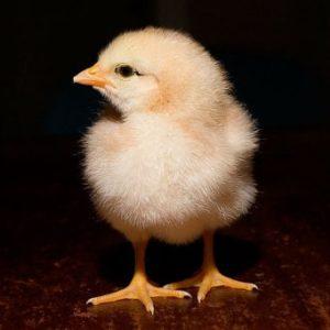 пропойка для цыплят бройлеров