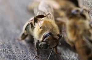уровень заклещенности пчел
