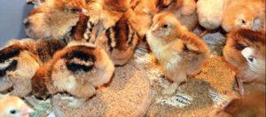 бройлеры цыплята