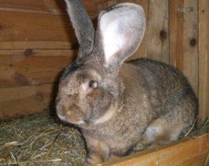 фландр кролик