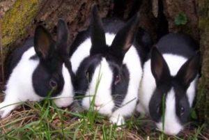 голландские кролики