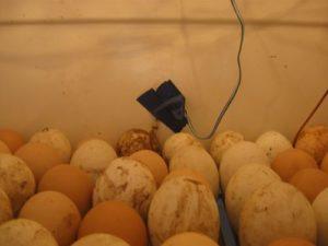 закладка яиц цесарок