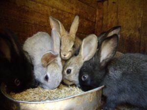 питание домашних кроликов