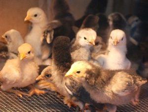 цыплята бройлеры1