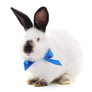 декоративный калифорнийский кролик