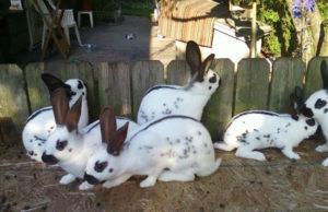 домашние кролики1