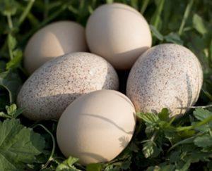яйца индюшат