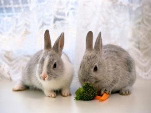 декоративные кролики питание