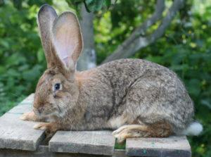 отличие кроликов