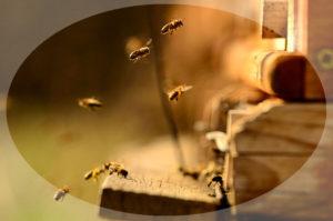 мед у пчел