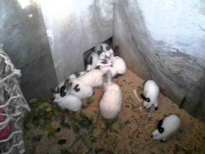 калифорнийские кролики в яме