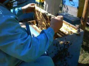 формирование гнезда пчел на зиму
