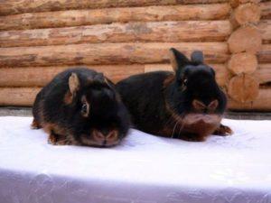 черно огненная порода кролика