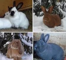 мясные породы кролика1