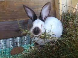 калифорнийский кролик ест траву