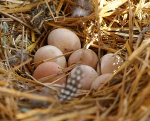характеристика яиц цесарок